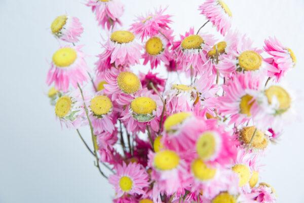 Trockenblumen Rodanthe